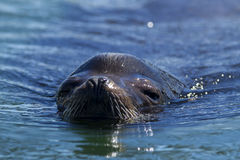 Close up of sea lion in water. A close up of the head of a California Sea Lion, Zalophus californianus, in the waters of Westhaven Cove in Westport, Washington Royalty Free Stock Images