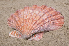 Close up of  Sea shell Royalty Free Stock Image