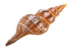 Close-up of sea shell cutout. Close-up of sea shell isolated on white - image07. Top view. Clipping path included Stock Image