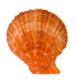 Close-up of sea shell cutout. Close-up of sea shell isolated on white - scallop15. Top view. Clipping path included Royalty Free Stock Image