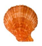 Close-up of sea shell cutout Royalty Free Stock Image