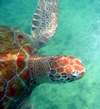 Close-up of sea turtle Stock Photo