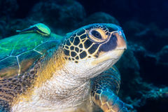 Close up of a sea turtle Stock Images