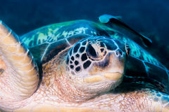 Close up of a sea turtle Stock Image