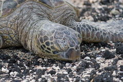 Close-up of sea turtle on the rocky beach. Hawaii. Royalty Free Stock Photos