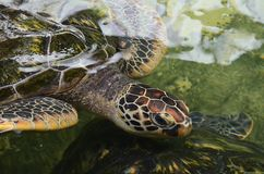 Close up of a sea turtle in the water. The head of a turtle with a wrinkled neck. Top view stock photos