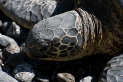 Close up of sea turtles resting on a rocky sand beach in Maui Hawaii Royalty Free Stock Image