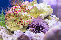Close up of seabad tropical aquarium. Rocks and curl of sea in t Stock Image