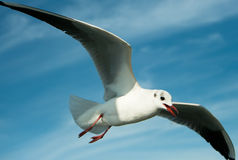 Close-up of seagull royalty free stock image