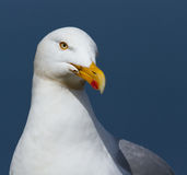 A close-up of a seagull. In Helgoland Royalty Free Stock Image