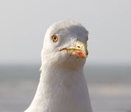 Close up seagull Stock Photos