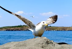Close up of seagull in action. Royalty Free Stock Photography