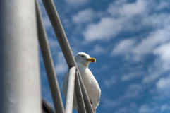 Close up of a seagull Royalty Free Stock Image