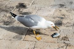 Close-up of a seagull while eating a cuttlefish Royalty Free Stock Images
