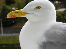 Close-up of a seagull head stock image