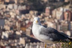 Close-up of seagull looking at the camera with curiosity stock image