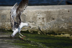 Close up of seagull- natural background stock images