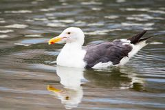 White seagull with gray black wings swimming in the ocean. Close up of seagull at the ocean. Medium to large bird with a squawking call, long bill and webbed stock images