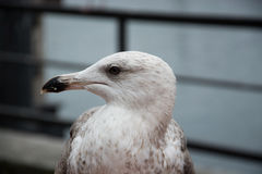 Close-Up of a Seagull Royalty Free Stock Photo