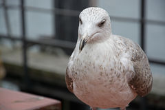 Close-Up of a Seagull Stock Photography