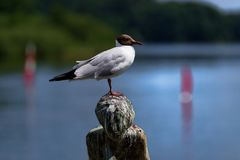 Close-up of seagull perching on a head of sculpture. Polluted by bird excrement. Ploen, Germany stock image