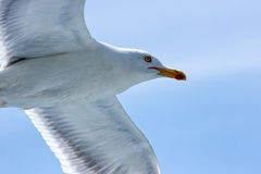 Close-up seagull Stock Image