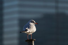 Close up of a Seagull on a railing Royalty Free Stock Photography