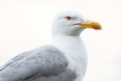 Close up of seagull Royalty Free Stock Photo