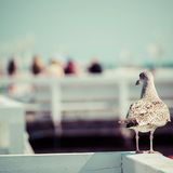 Close-up of a seagull in Sopot Pier, Gdansk with the baltic Sea in the background, Poland 2013. Stock Photography
