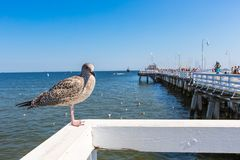 Close-up of a seagull in Sopot Pier, Gdansk with the baltic Sea in the background, Poland 2013. Royalty Free Stock Photo