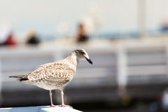 Close-up of a seagull in Sopot Pier, Gdansk with the baltic Sea in the background, Poland 2013. Close-up of a seagull in Sopot Pier, Gdansk with the baltic Sea royalty free stock images