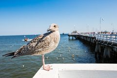 Close-up of a seagull in Sopot Pier, Gdansk with the baltic Sea in the background, Poland 2013. Stock Image