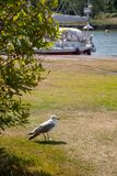 Close up of seagull standing on a lawn. royalty free stock photography