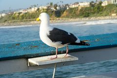 Close up of seagull standing on a pier with sea and coastline on the background. Seagull waiting on the San Clemente Pier. In Orange County, California, USA stock photos