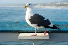 Close up of seagull standing on a pier with sea and coastline on the background. Seagull waiting on the San Clemente Pier. In Orange County, California, USA royalty free stock photos
