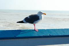 Close up of seagull standing on a pier with sea and coastline on the background. Seagull waiting on the San Clemente Pier. In Orange County, California, USA royalty free stock photo