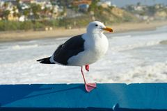 Close up of seagull standing on a pier with sea and coastline on the background. Seagull waiting on the San Clemente Pier. In Orange County, California, USA royalty free stock images