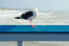 Close up of seagull standing on a pier with sea and coastline on the background. Seagull waiting on the San Clemente Pier. In Orange County, California, USA stock image