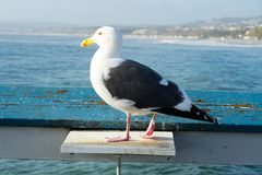 Close up of seagull standing on a pier with sea and coastline on the background. Seagull waiting on the San Clemente Pier. In Orange County, California, USA royalty free stock photography
