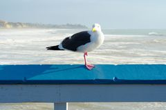 Close up of seagull standing on a pier with sea and coastline on the background. Seagull waiting on the San Clemente Pier. In Orange County, California, USA stock photography