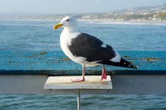 Close up of seagull standing on a pier with sea and coastline on the background. Seagull waiting on the San Clemente Pier. In Orange County, California, USA royalty free stock image
