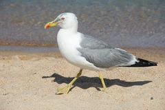 Close up of a seagull walking on a shore. Of a sandy beach royalty free stock images