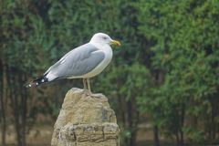 Seagull. The close-up of seagull with yellow beak stands on stone Stock Images