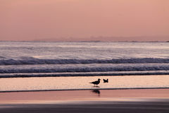 Close up of seagulls in pink violet sunrise summer sky on the beach of atlantic ocean Royalty Free Stock Images