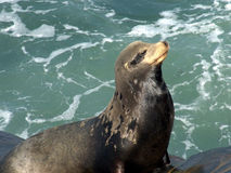 Close up of seal. Wild California La Jolla seal Royalty Free Stock Photo