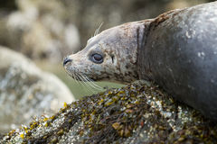 Close up of seal face Royalty Free Stock Photography