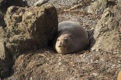 Close up of a seal Royalty Free Stock Photos