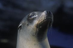 Close-up of seal, Sea World, San Diego, CA Royalty Free Stock Images