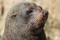 Close up of a Sealion head whikst sunbathing and relaxing in the bay of Kaikoura royalty free stock photography