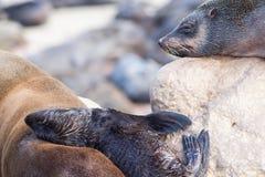 Close up of seals at Cape Cross Royalty Free Stock Image